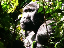 Ugandan gorilla